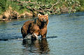 Brown bear in creek.jpg