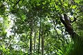 Browns Field rainforest NSW.jpg
