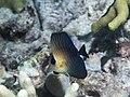 Brushtail tang juvenile (Zebrasoma scopas) (37331505535).jpg