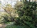 Buda Arboreta Lower Garden. Judas tree (Cercis siliquastrum). - Budapest.JPG