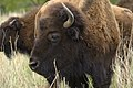 Buffalo are abundant at Stasney's Cook Ranch in Albany, Texas. (24479743814).jpg