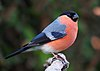 Bullfinch male.jpg
