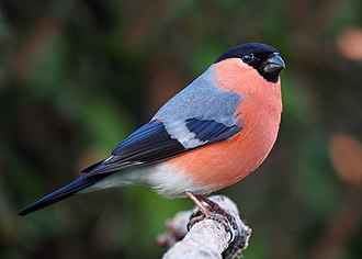 Finch - Eurasian bullfinch (female above, male below)