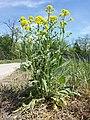 Bunias orientalis sl16.jpg