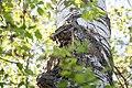 Buntspecht Dendrocopos major Nationalpark Donau-Auen Lobau Mai 2016 03.jpg