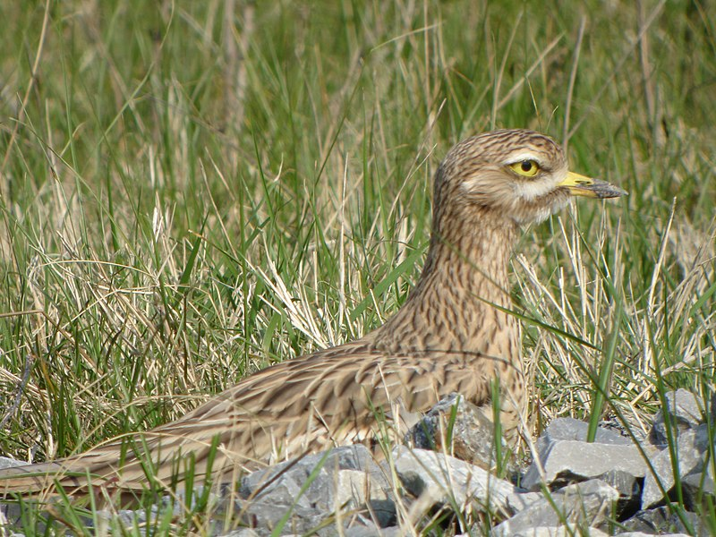 Eurasian Thick-knee (Burhinus oedicnemus) - Photographed at Teich Bird Reserve, France