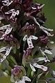 Burnt-tip Orchid - Neotinea ustulata (17405395562).jpg