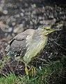 Butorides striata Garcita rayada Striated Heron (juvenile) (11331663314).jpg