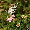 Butterfly 1410382 Nevit.jpg