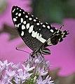 Butterfly 1 (4866613949).jpg