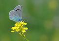Butterfly Green-underside Blue - Glaucopsyche alexis.jpg