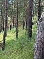 Cосновый бор на территории Боровска.jpg