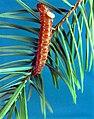 C.1957. Spruce budworm with larval ectoparasite Phytodietus fumiferanae. (27673624488).jpg