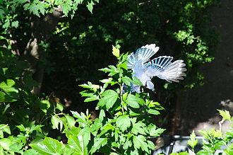 Blue jay - Blue jay in flight
