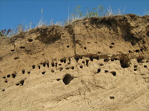 Burrow - Bird burrows on the Volga shore near Kstovo, Russia