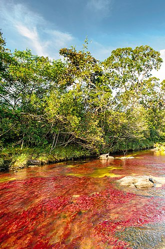Podostemaceae - The Caño Cristales river in Colombia is famous for the bright red Macarenia clavigera, a species only found in Serranía de la Macarena