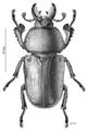 COLE Lucanidae Lamprima aurata m.png