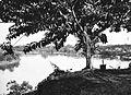 COLLECTIE TROPENMUSEUM Een boom langs de Barito-rivier bij Poeroektjaoe TMnr 60018705.jpg