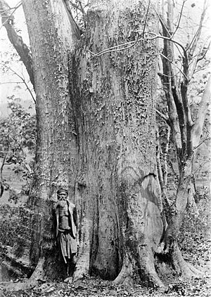 Saminism Movement - Example of a teak tree during the same time period in Java, Indonesia 1900-1940