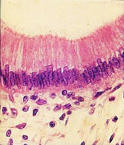 Epithelium simplex columnare