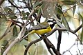 CSIRO ScienceImage 10304 Crested Shriketit You Yangs Victoria.jpg