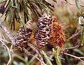 CSIRO ScienceImage 11448 Banksia.jpg