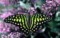 CSIRO ScienceImage 2484 Greenspotted Triangle Butterfly.jpg