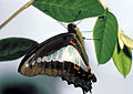 CSIRO ScienceImage 2691 Blue Triangle Butterfly.jpg