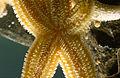 CSIRO ScienceImage 983 Asterias amurensis Northern Pacific Seastar.jpg