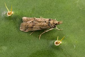 Cactoblastis cactorum - Female moth