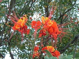 Pfauenstrauch (Caesalpinia pulcherrima)