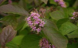 Callicarpa Flowers