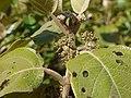Callicarpa tomentosa (6780618269).jpg