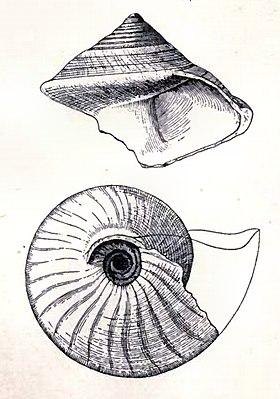 Calliostoma brunneum 001.jpg