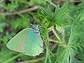 Callophrys rubi (34525151431).jpg