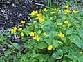 Caltha palustris Knieć błotna 2020-04-30 01.jpg