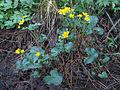 Caltha palustris Oulu, Finland 01.06.2013.jpg