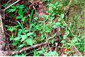 Calypso bulbosa 9-mgrover (5098051510).jpg