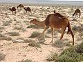 Camel train Alamein.jpg