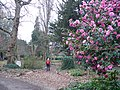 Camelias in Syon Park - geograph.org.uk - 689708.jpg