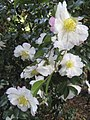 Camellia Xuiling Baozhu RBG Melbourne 10 April 2017.jpg