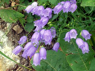 Campanulaceae - Campanula cespitosa