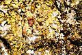 Candelariella efflorescens-1.jpg