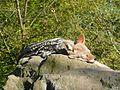 Canis mesomelas, relaxing, Zoo Plzeň.JPG