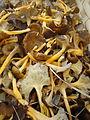 Cantharellus lutescens euskal herrian 1.jpg