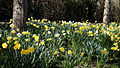 Capel Manor Gardens Enfield London England - Daffodils 03.jpg