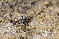 Capsodes flavomarginatus (Miridae) - Plant bug - Weichwanze (8709878230).jpg