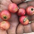Capulines fruta 2019 (24).jpg