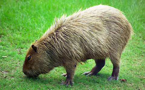 Photo of a Capybara, formatted (and sized) as a widescreen computer desktop background.