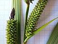 Carex acutiformis inflorescens (27).jpg